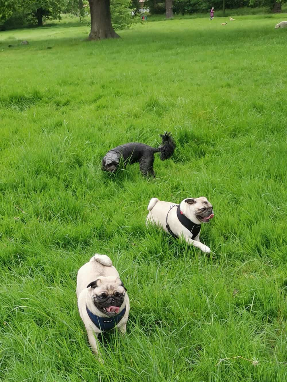 chelsea wags dog daycare balham wandsworth