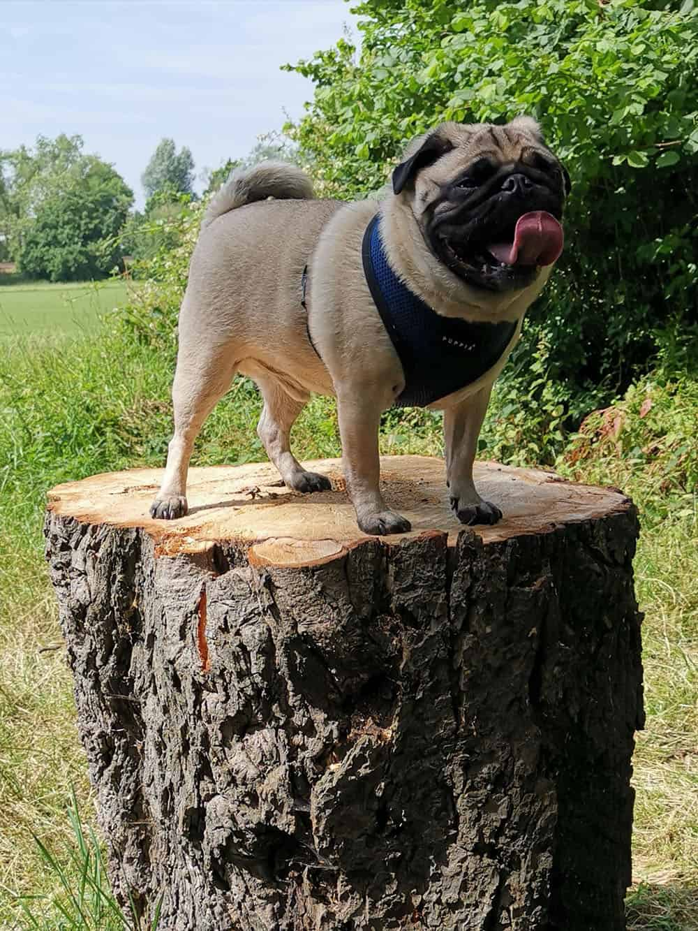 pug on a log dog walker service balham clapham