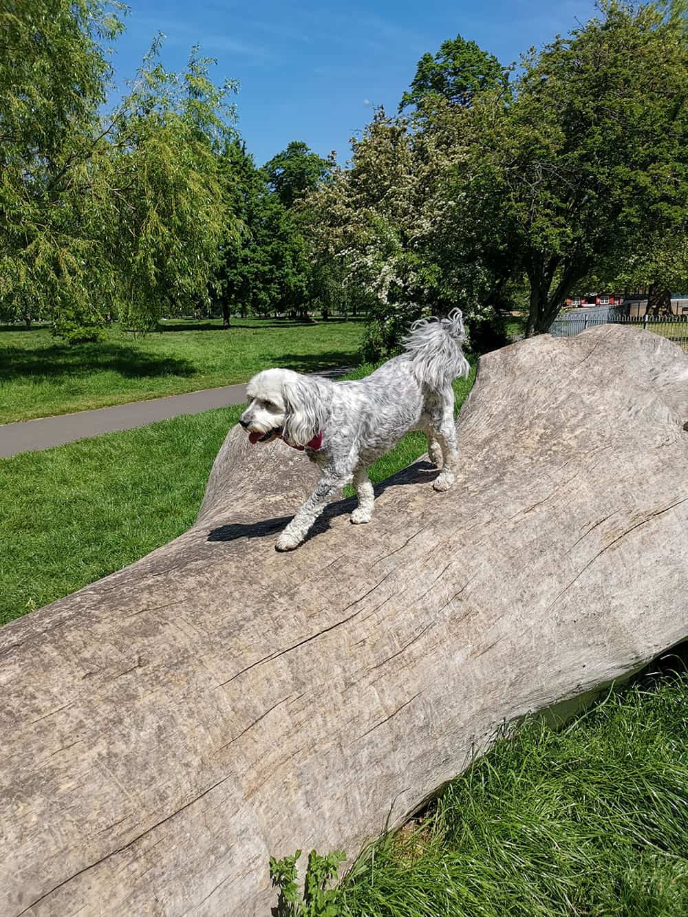 dog walking service south west london sunny day