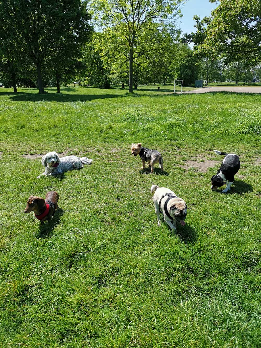 group of dogs walking on tooting common half daycare service
